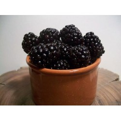 Organic Blackberry Plants, Quart